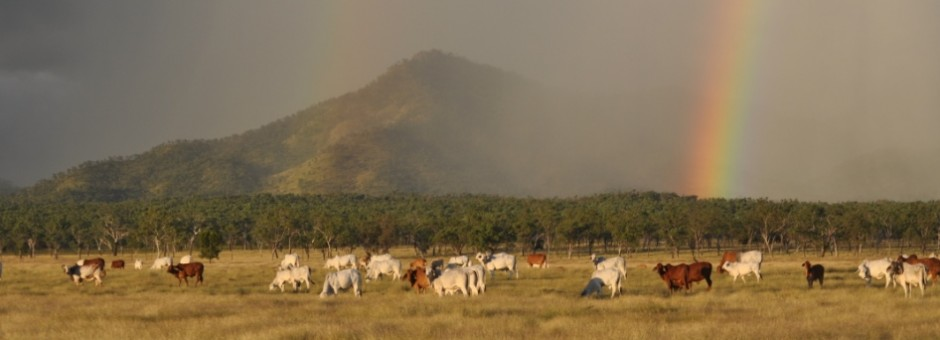 Reef Catchments-cattle and rainbows_2